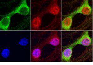 Cellules fluorescentes